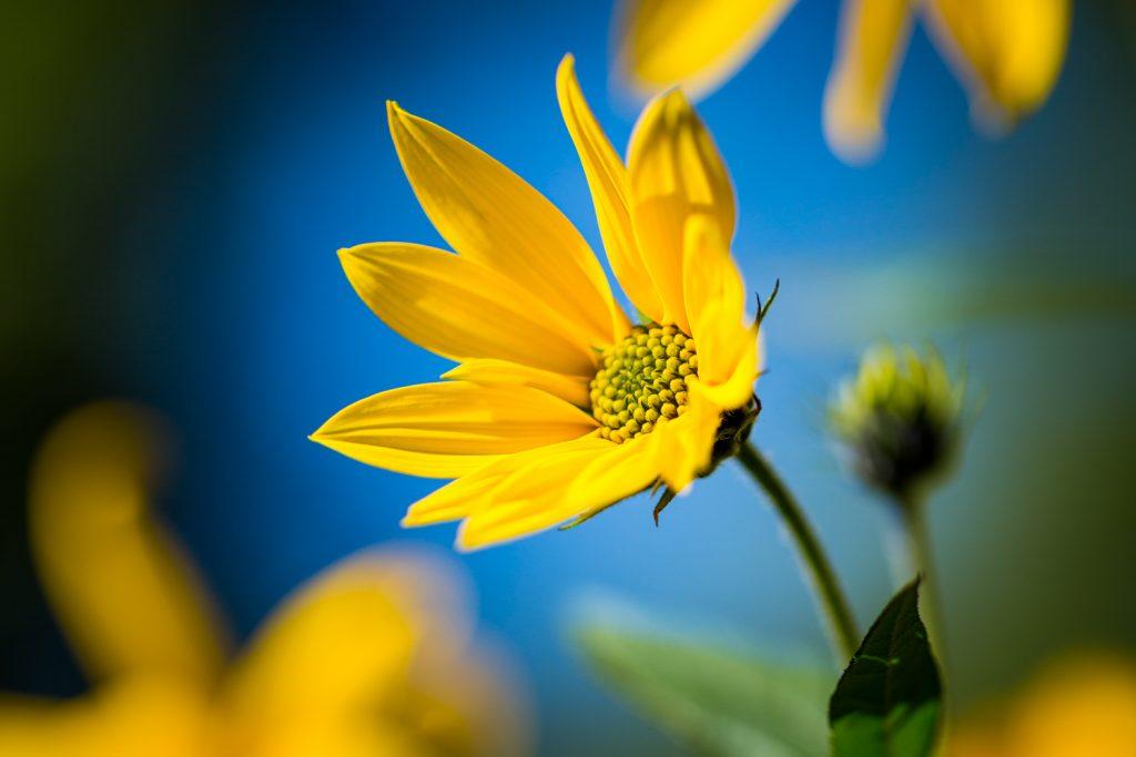 deze close-up van een gele bloem (aardpeer) tegen blauwe achtergrond is een voorbeeld van complementair kleurgebruik
