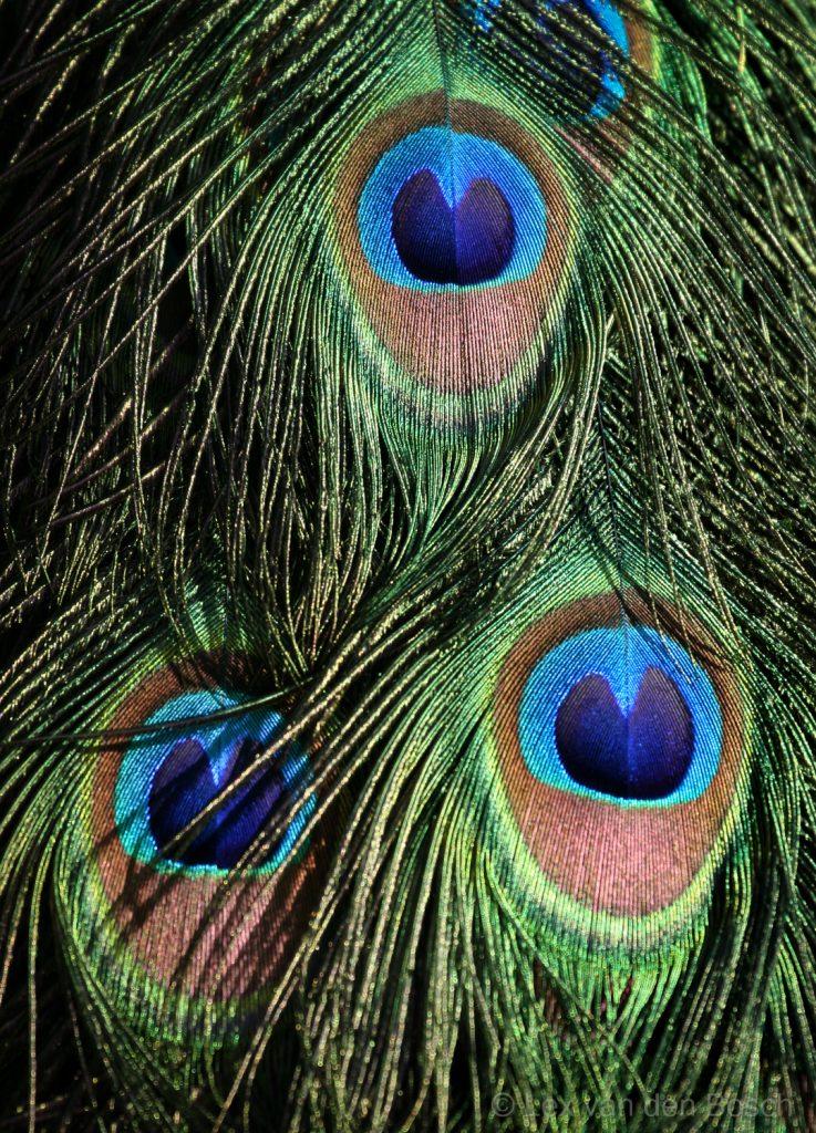 Detail van een pauwenstaart