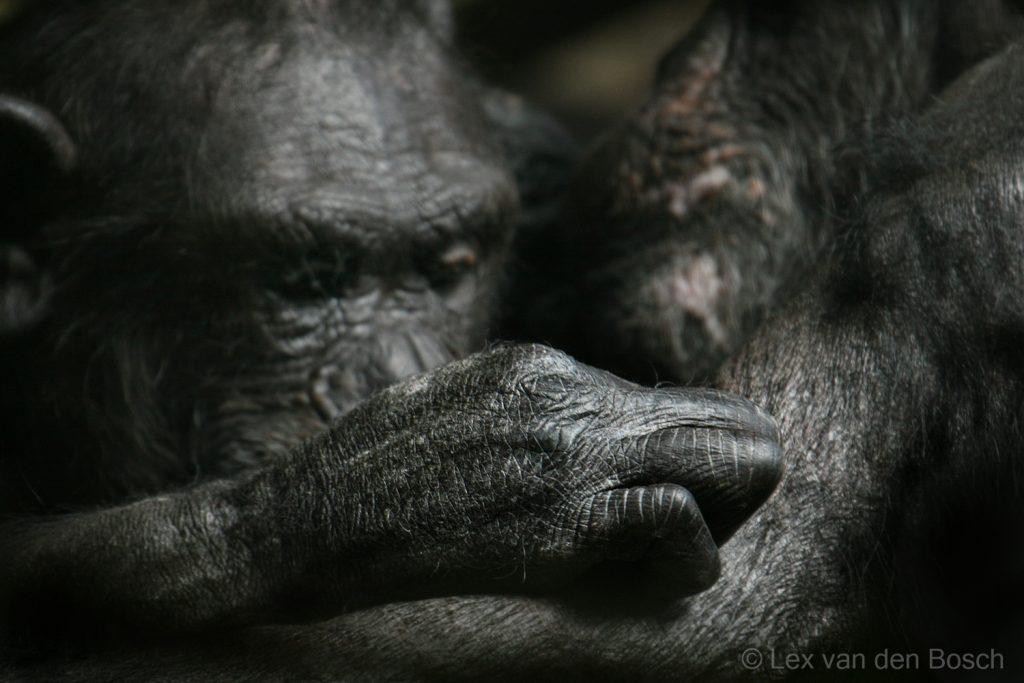 Apenhand in beeld, een geconcentreerd kijkende chimpansee is aan het vlooien