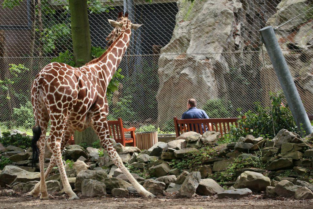 Beeldrijm met een naar links kijkende giraf en een naar links kijkende man in de dierentuin