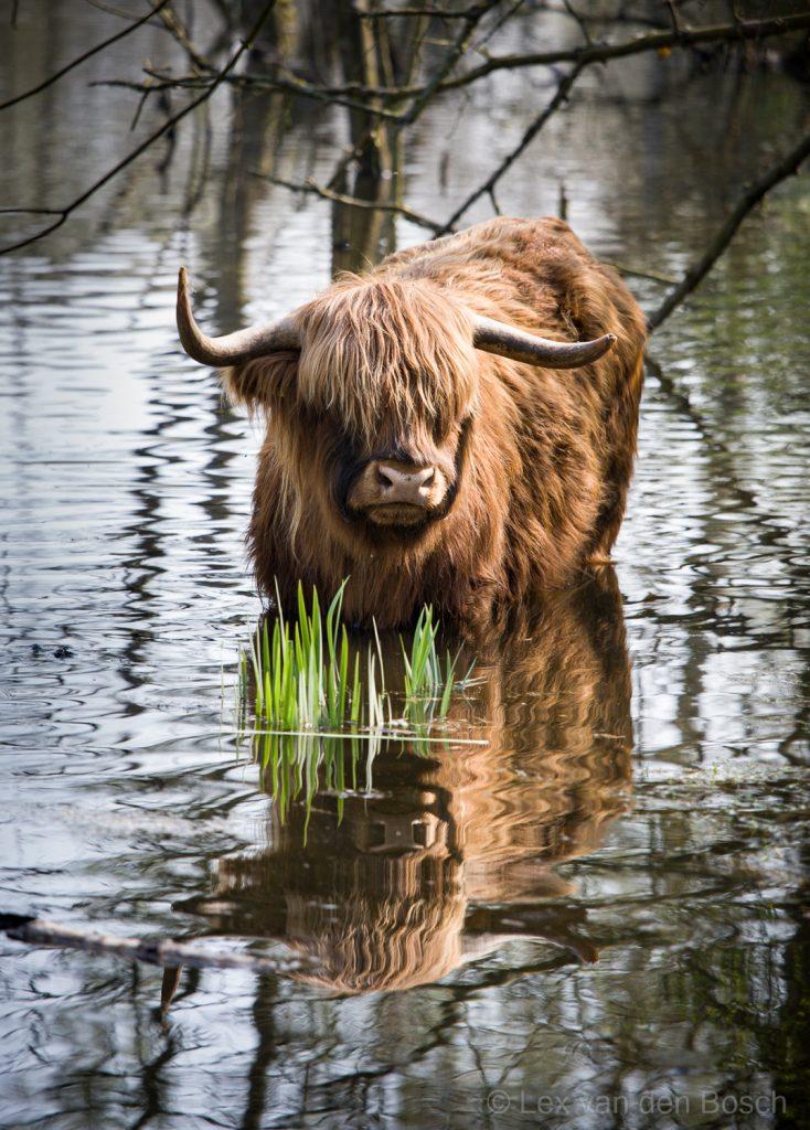 Schotse Hooglander staat in het water