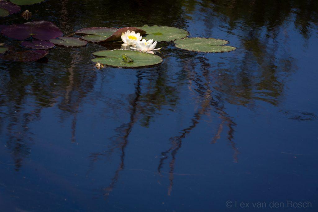 Bloeiende waterlelie op het diepblauwe water van het Lammerven, een van de Oisterwijkse vennen in Midden-Brabant